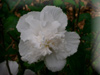 rose of sharon-double